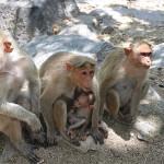 Freilebende Affen in Gingee