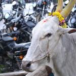 Kuh geschmückt für Tempelfest